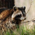 875776-raccoon-wallpaper