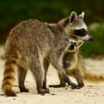 mapache cozumel