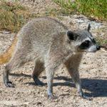 mapache cozumel1