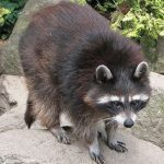 mapache de guadalupe1